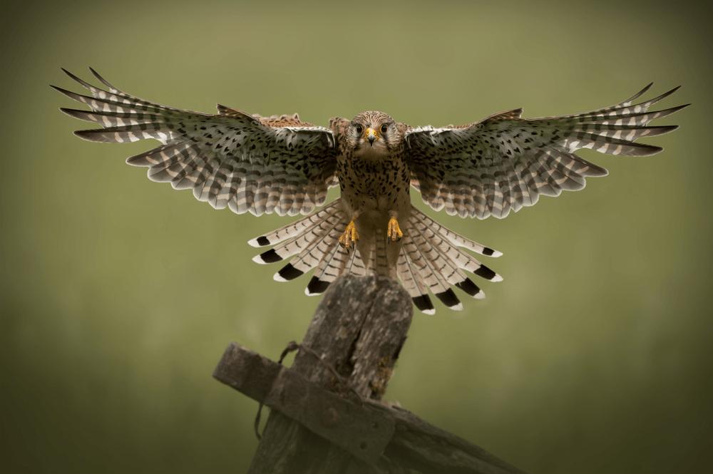 falcon_1000