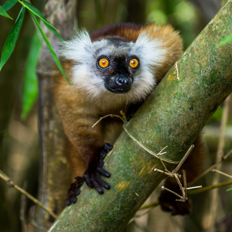 A cute big eyed lemur